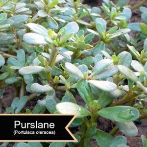 PurslanePortulaca oleracea