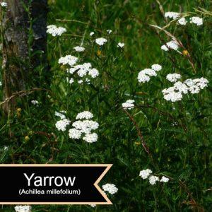 YarrowAchillea millefolium
