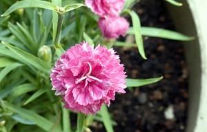 carnation-byDel Green