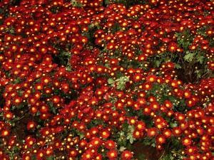 chrysanthemums-666846_640