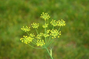 Fennel_flowers_J1