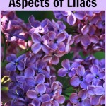 The Magickal Aspects of Lilacs